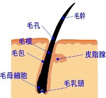 髪の作られる仕組みの図